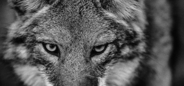 Coyote Black and White